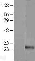 NBL1-10113 - Endothelin 1 Lysate
