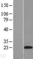 NBL1-10114 - Endothelin 2 Lysate