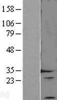 NBL1-10115 - Endothelin 3 Lysate