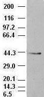 NBP1-47729 - CD326 / EPCAM / TACSTD1