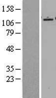 NBL1-15153 - Epac2 Lysate
