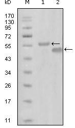 NBP1-51559 - EphA6