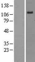 NBL1-10291 - Eph receptor A6 Lysate