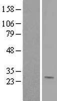 NBL1-10142 - Ephrin A1 Lysate