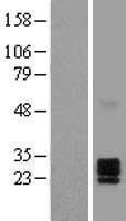 NBL1-10143 - Ephrin A2 Lysate