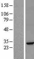 NBL1-10145 - Ephrin A5 Lysate