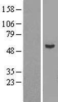 NBL1-17443 - Epsilon 1 Tubulin Lysate