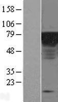 NBL1-10297 - Epsin 1 Lysate