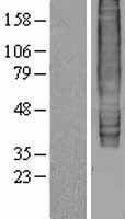 NBL1-10092 - Epstein Barr Virus Induced Gene 2 Lysate