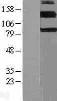 NBL1-10317 - ErbB 4 Lysate