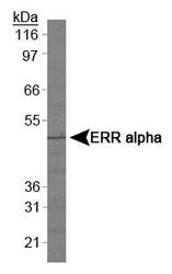 NBP1-47254 - Estrogen-related receptor alpha