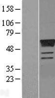 NBL1-10347 - Estrogen Related Receptor gamma Lysate