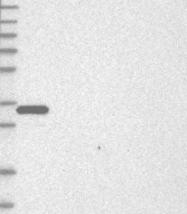 NBP1-84786 - SULT1E1
