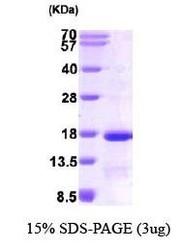 NBP1-37080 - EIF1 / SUI1
