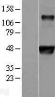 NBL1-10370 - Evx1 Lysate