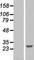 NBL1-08271 - FAAP24 Lysate