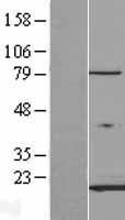 NBL1-10419 - FABP3 Lysate