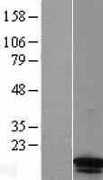 NBL1-10420 - FABP4 Lysate