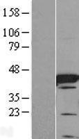 NBL1-10422 - FABP6 Lysate