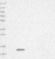 NBP1-88648 - FABP7