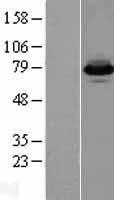 NBL1-07264 - FACL4 Lysate