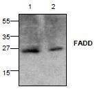 NBP1-45552 - FADD