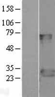 NBL1-10424 - FADD Lysate