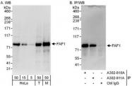 NBP1-47276 - FAF1