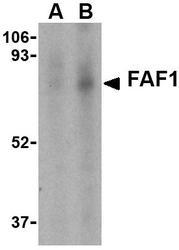 NBP1-76745 - FAF1