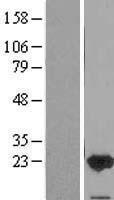NBL1-10431 - FAIM1 Lysate