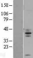 NBL1-10433 - FAIM3 Lysate