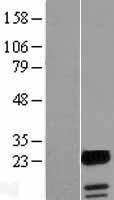 NBL1-10434 - FAM100A Lysate