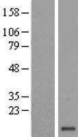 NBL1-10435 - FAM103A1 Lysate