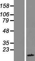 NBL1-10436 - FAM104B Lysate