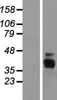 NBL1-10440 - FAM108A3 Lysate