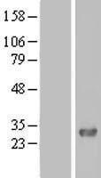 NBL1-10441 - FAM109A Lysate