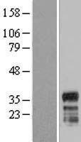NBL1-10442 - FAM110A Lysate