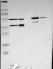 NBP1-86720 - C8orf72