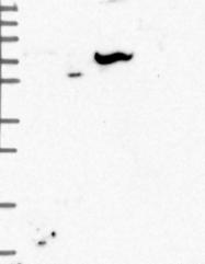 NBP1-82103 - FAM111A