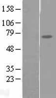 NBL1-10446 - FAM111A Lysate