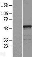NBL1-10448 - FAM113B Lysate