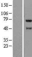 NBL1-10449 - FAM114A1 Lysate