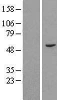 NBL1-10450 - FAM114A2 Lysate