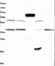 NBP1-91881 - FAM115C / FAM139A