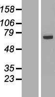 NBL1-10451 - FAM116A Lysate