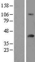 NBL1-10452 - FAM118A Lysate