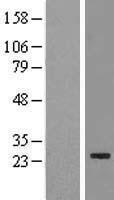NBL1-10455 - FAM119B Lysate