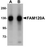 NBP1-77367 - FAM120A