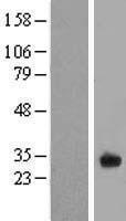 NBL1-10461 - FAM125A Lysate
