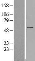NBL1-10463 - Hyccin Lysate